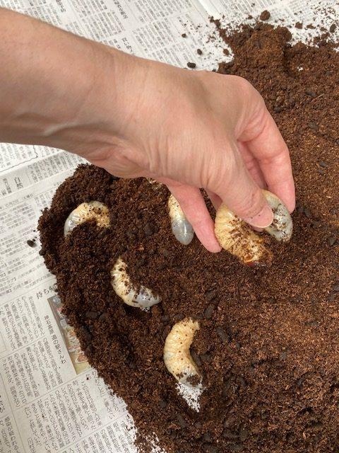 に なる カブトムシ まで 幼虫 蛹 から